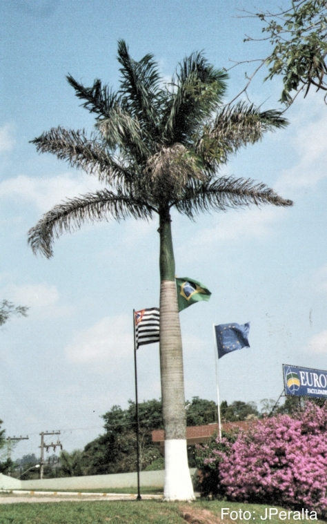 palmeira imperial2 1_Fotor