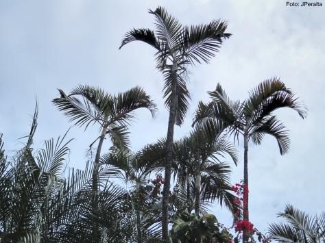 palmeiras_areca1